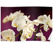 Ivory on Purple Poster