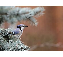 Haughty Blue Jay Photographic Print