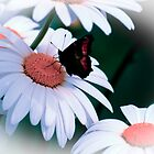 Daisies & Butterflies by Kim Cinnamon