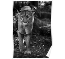 Florida Panther in Black and White Poster
