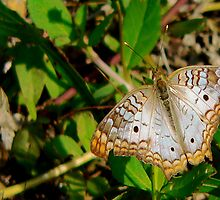White Peacock Butterfly by Rosalie Scanlon