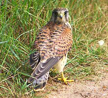 Kestrel by jdmphotography