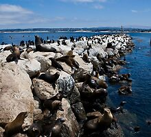 Sea Lions in Monterey, California by Alison Cornford-Matheson