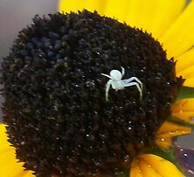 New Born- Crab/Flower Spider by ChereeCheree