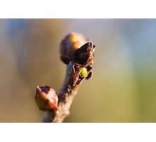 buds on the branches in spring Photographic Print