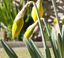 daffodils - spring is here - almost. by gaylene