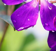 rain drop on purple by tawho