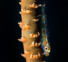Whip goby by Stephen Colquitt