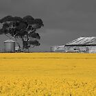 Canola Farm by Andrew Willesee