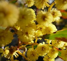 NL- Acacia Blossoms 1 by beeden
