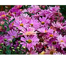 Pink Asters 3 Photographic Print