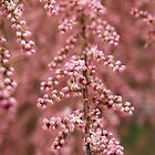 Tiny pink buds - 2011 by Gwenn Seemel
