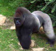 A Silverback Gorilla  by kelleybear