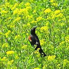 Red Winged Blackbird by trueblvr