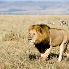 Masai Mara Lion, Kenya by FrancisDCG