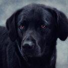 black Labrador by lucyliu