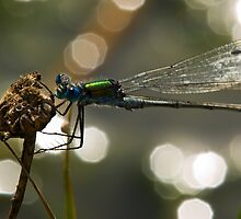 Dragon fly by Frevik