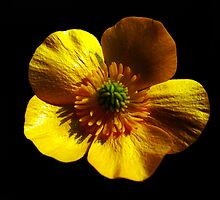 Buttercup On Black by A90Six