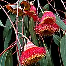 Flowering Gum by Steven  Agius