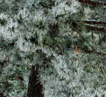 Frosted Pine dedicated to finding winter beauty Sticker