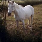 White horse by Elana Bailey