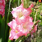 Pink Gladiola by SMahoney