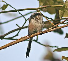 Long-tailed Tit by ianrose82