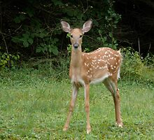 A Fawn finds food to nibble in the back yard today. by Jack McCabe