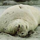 Southern Elephant Seal    by Steve Bulford