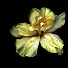 Yellow Hibiscus Flower by sketra