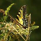 Yellow butterfly by croadman
