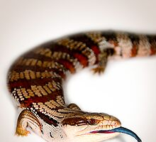 Eastern Blue-Tongued Skink [Tiliqua scincoides scincoides] by Shannon Benson