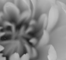 White chrysanth Sticker