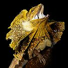 Frilled Lizard [Chlamydosaurus kingii] by Shannon Plummer