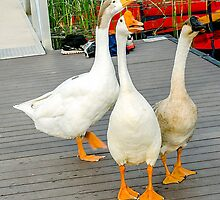 Three Geese a Honking by dm-photography