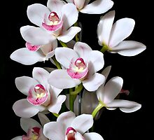 White and Pink Cymbidium Orchid by Karin Knapp