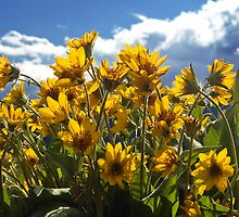 Arrowleaf Balsamroot by ToddDuvall