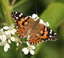 Painted Lady Butterfly by Gregg Williams