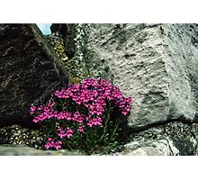 Flowers blooming in ruins of old monastery Holy Isle Lindisfarne Northumbria England 198405290036  Photographic Print