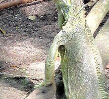 Iguana by Laurie Puglia