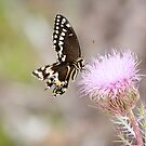 Everglades butterfly on a thistle by digitaldawn