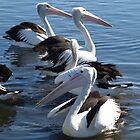 Pelicans in all directions by kalaryder