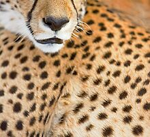 Detail of Cheetah Face - Namibia by Wild at Heart Namibia