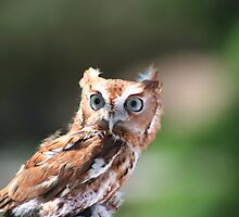 Owl by spencerphotos