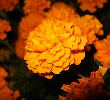 Marigolds at night by Pamela O'Pecko