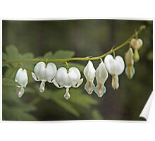 White Bleeding Hearts Dicentra Hunter Green and Chartreuse Poster