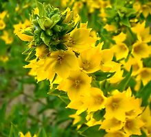 Small Yellow flowers by AnnArtshock