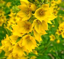 Small Yellow flowers 2 by AnnArtshock