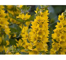 Small Yellow flowers 3 Photographic Print