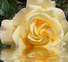 Peach Rose flooded by hilarydougill